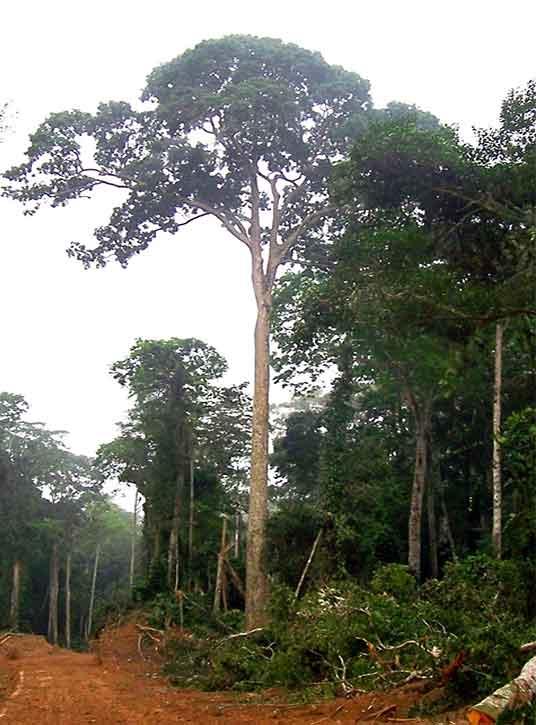 Sapele Tree